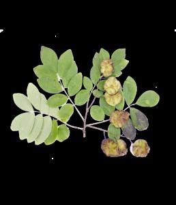 Sugar Knocker Petrocarpus