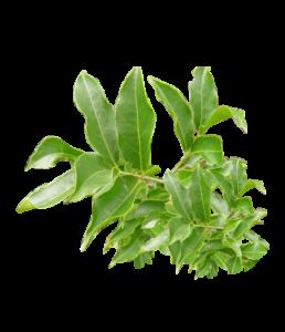 Sugar Knocker salacia reticulata